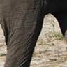 استدعاء التأثير الصوتي لفيل ملك الغابة تأثيرات صوتية قالب MP3