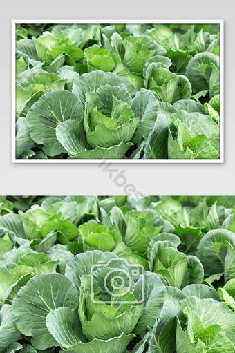 الملفوف الكرنب الطازج قاعدة الخضروات الخضراء البلاط صورة عالية الدقة التصوير قالب JPG