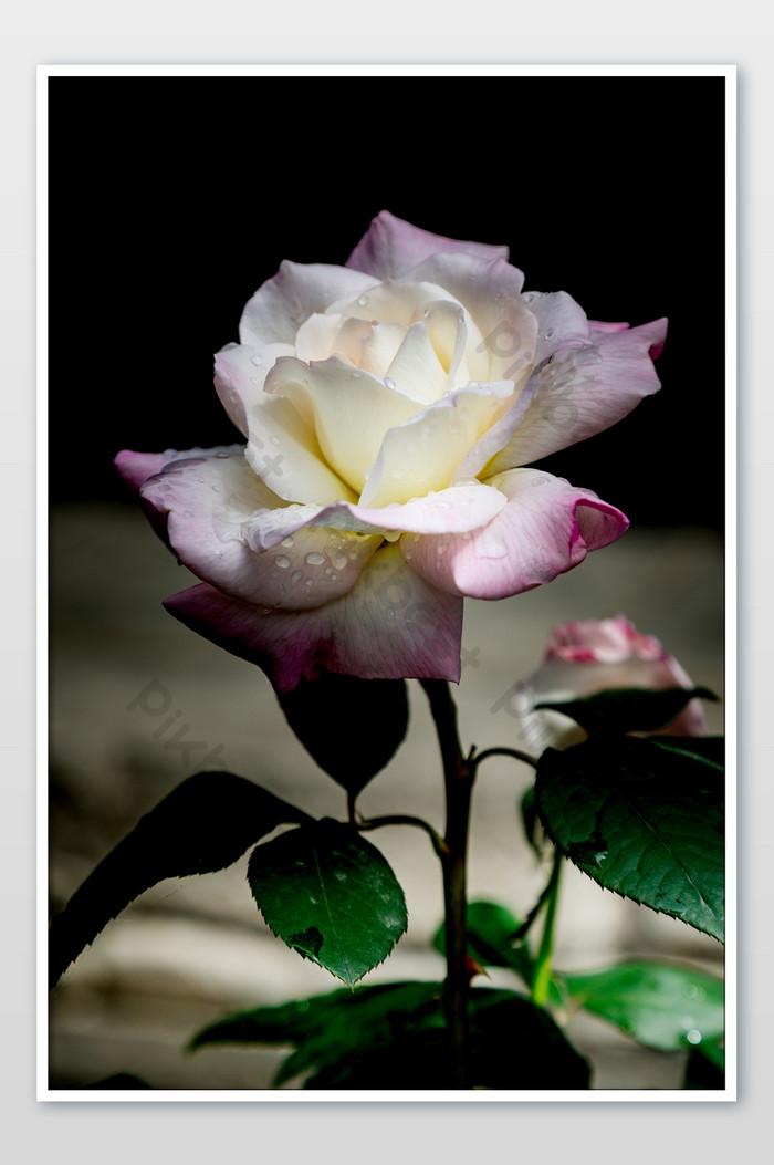 101+ Gambar Bunga Mawar Yang Sangat Indah Terlihat Keren