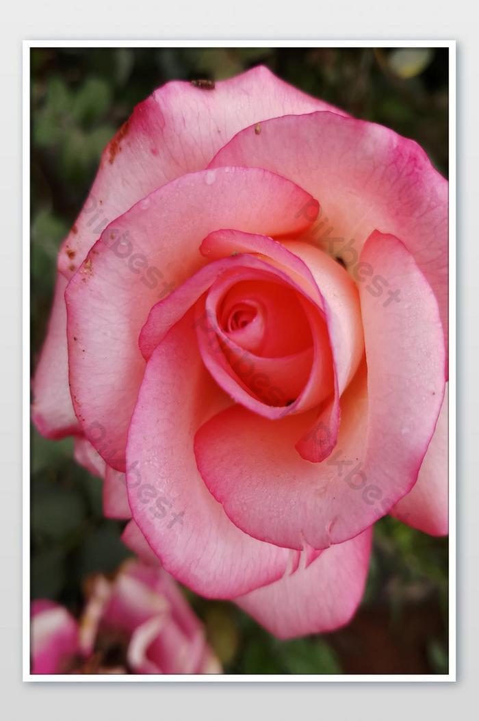 Bunga Mawar Merah Muda Yang Indah Di Taman Saya Fotografi Templat Jpg Unduhan Gratis Pikbest